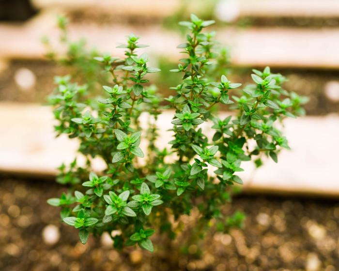今回利用したフレッシュハーブはベランダで育てているタイムです。イギリス南西部のサマセット州に位置する小さな港町ポーロックから名前をとった、ポーロックタイムと言う、コモンタイムに似た香り、楕円形でやや幅広の葉を持つタイムです。