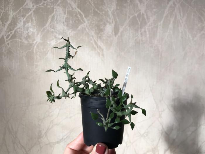 緑がかった多肉質の茎が四方八方に拡がり、その独特な質感が造形美を生み出しています。