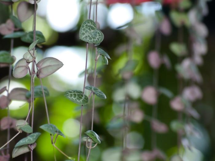 ハートカズラはセロペギア属で常緑ツル性多年草の多肉植物です。ハート型の葉がたくさん連なる姿から別名「ラブチェーン」とも呼ばれています。また、恋が実る植物とも言われているそう。夏に細長い棒状で赤紫色の花を咲かせます。