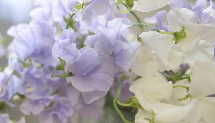 前田さんのスイートピーの思い出 私がイギリスでガーデナーのインターンをしていた時に、いろんな種類の花に出会ったのですが、その中でも思い出がある花のひとつがスイートピーです。 ガーデナーインターン時代、お城のカフェの前にあった寄せ植えの水やりやメンテナンスを担当していました。その庭仕事中、手を止めたくなるくらいのいい香りがどこからともなくしてきて、ふと香ってくる方向にある寄せ植えを覗き込んだら、その香りの正体がスイートピーでした。  日本で切り花として出回るスイートピーは、形や長さがそろっているイメージが強いかもしれませんが、スイートピーはもともとはマメ科の花。ツルも葉もかわいくて、伸びやかに咲く花です。 まだまだ冬真っ盛りの季節ですが、花屋では少しずつ春の花が出回り始めていて、今回も仕入れの時に香りに誘われて手が伸びました。今日は車で花を運んできたのですが、スイートピーを載せた車内は、香りがとてもよくて癒されました。スイートピーは見た目以外に香りもとてもおすすめしたい花のひとつです。