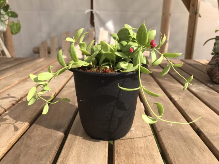 別名「フクロカズラ」や「カンガルーポケット」と呼ばれています。東南アジアからオーストラリア、太平洋諸島西部に自生しています。  自生地では、茎の節から根を出して岩や樹木に張り付いて成長する着生植物です。