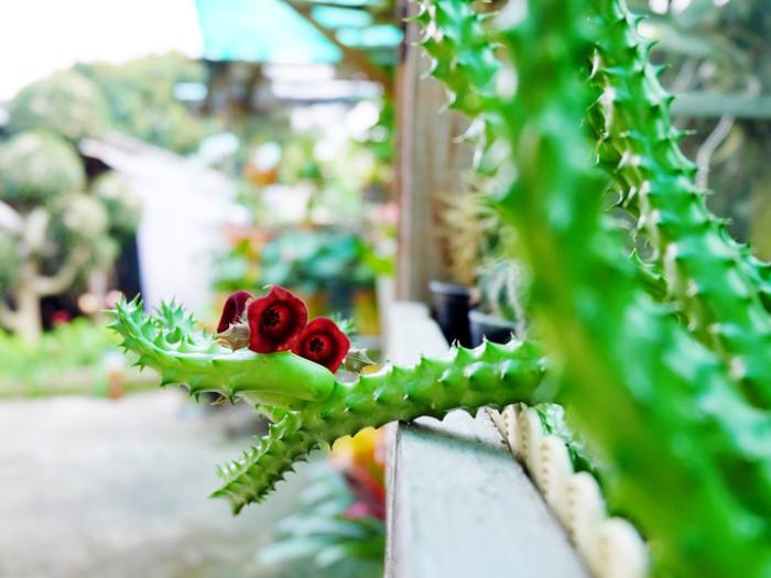 その見た目からの想像を超えたなんとも摩訶不思議な色合いや形を持つが花が現れるのも、ガガイモ科多肉植物の魅力ではないでしょうか! たくさん種類のあるガガイモ科の多肉植物からいくつかをご紹介します!