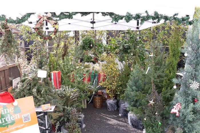 お庭に植えてあるクリスマスツリーに飾り付けをして迎えるクリスマス。素敵ですね。