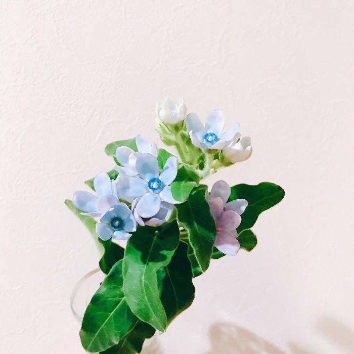 オキシペタラムは、南米原産で暑さに強く、初夏から秋まで咲き続け、暖地では戸外でも冬越し出来るほど比較的丈夫な多年草です。「ブルースター」の名前で、お花屋さんなどでお馴染みのお花です。