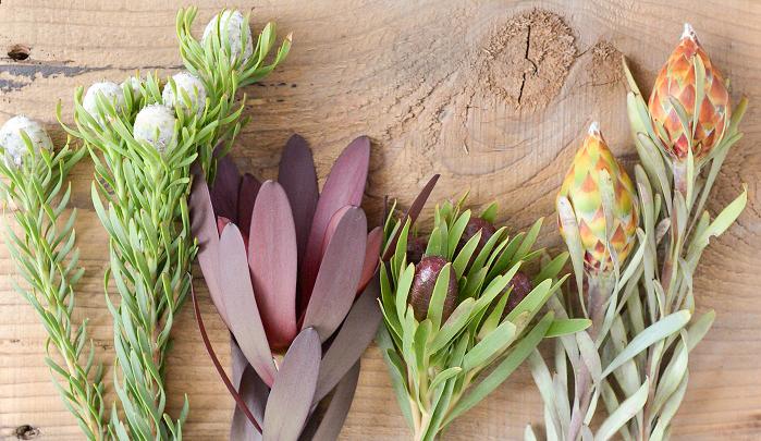 左からリューカデンドロン・ジェイドパール、サファリサンセット、ルビーグローブ、プルモサス  リューカデンドロンは、木の実のような形のものも多く、クリスマスらしい雰囲気もかもしだすことができる花です。これ同じ花なの?と思うくらい種類によって、形、咲き方、色もユニークなのもリューカデンドロンの魅力です!