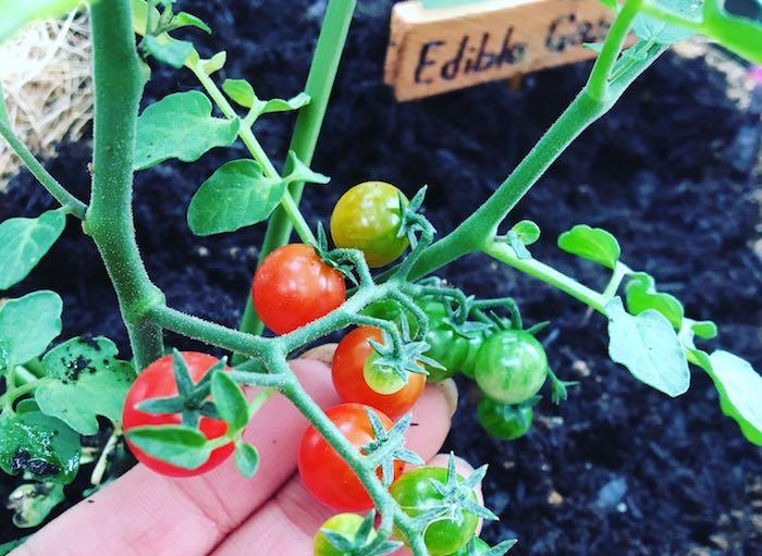 お仕事や家事、育児で忙しい毎日を送っているみなさんは、もしかしたら貴重な時間を家庭菜園に費やすことは難しいと感じているかもしれませんね。しかし、そんな忙しい毎日を頑張れる「心の支え」になってくれるような家庭菜園の楽しみ方もあるんですよ。自分のライフスタイルに無理のない、それでいて心が豊かになれる家庭菜園をはじめてみませんか。