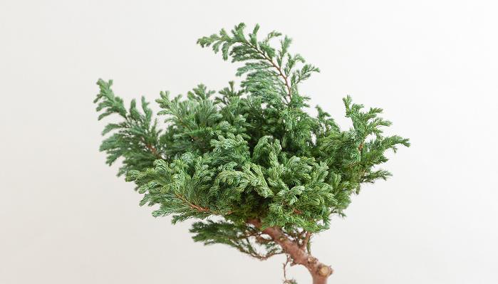 コニファー・ボールバード(ブルーバード)  葉が針のような細い形をしているものが多い針葉樹。マツやスギ、ヒノキなどが代表的な針葉樹です。クリスマスの頃に出回るのは常緑の針葉樹で、常緑樹は四季を通して生き生きとした葉をつけていることから、緑が保てる、家族の幸せが続く、健康、幸せの象徴という意味を込めて、クリスマスの花材として、とてもよく使われています。