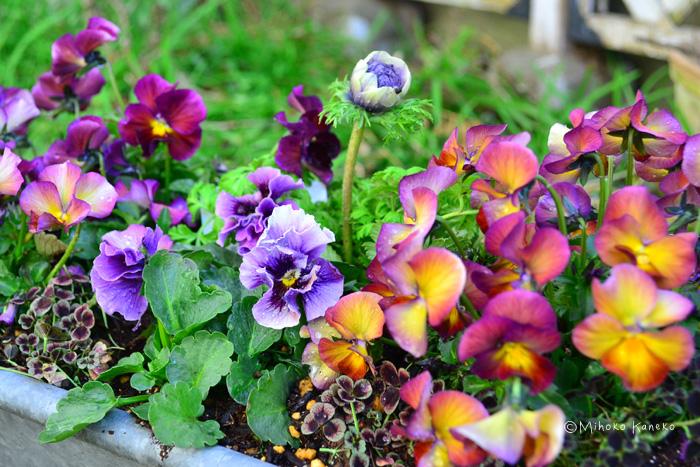 ビオラは同じ時期に咲く春の草花の寄せ植えの素材としても優秀な草花です。