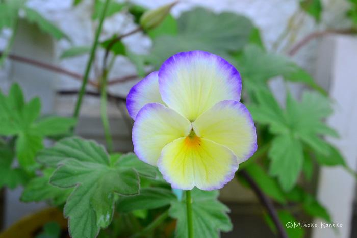 学名:Viola 科名:スミレ科 属名:スミレ属 分類:草花 ビオラは冬から春にかけて長く咲く一年草。色、形、咲き方の種類が豊富で、毎年魅力的な新品種もつくり出されている草花です。