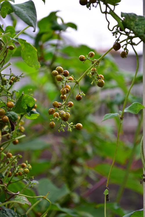 日本全国いたるところで見かけることのできる野草(雑草)のひとつのヘクソカズラ。ツル性の多年草で、夏に花が開花した後、秋に茶系のつやつやした小さな実をつけます。
