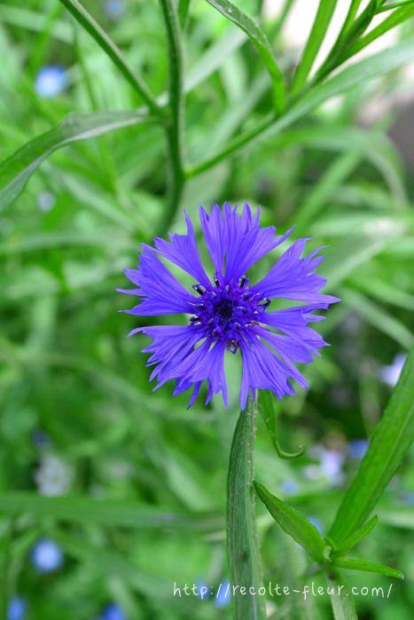 青い花 ヤグルマギク