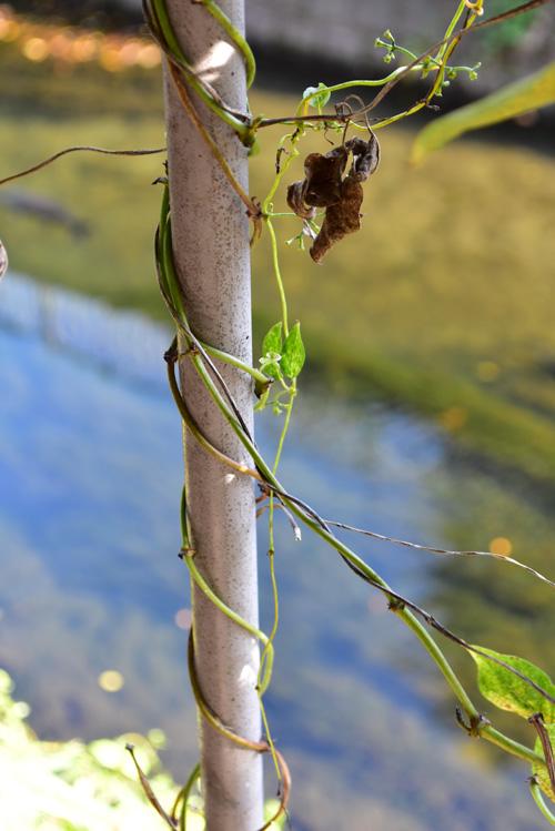 ひとくちにツル性と言っても、それぞれの植物によってツルの伸ばし方が違います。まっすぐ伸びる性質、横に伸びる性質、ツルから節ごとに根を出す性質・・・。  ヘクソカズラは、コイルのようにグルグルと何かに絡みついて生長していく性質です。スイカズラやテイカカズラも同じような生長の仕方です。最初からくるんとカーブしているツルなので、リースを作るのはとても簡単です!