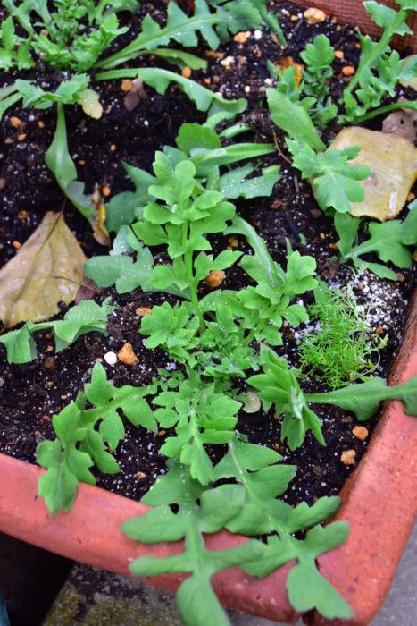 ポピーは直根性で移植を嫌う性質のため、根をいじらないようにして植え付けるのがポイントです。品種によっては、1m近くの丈になるものもあるので、植栽する場所は花丈を調べておいて適切な位置に植え付けます。ポピーは植え付けてしまえば育て方は簡単です。