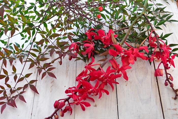 南天(ナンテン)  難を転ずるという言葉に通じること、赤い実がお正月のころ実ることから、お正月の生け花によく使われる縁起物の葉もの、南天。これに赤い実などを入れると一気にお正月らしくなります。