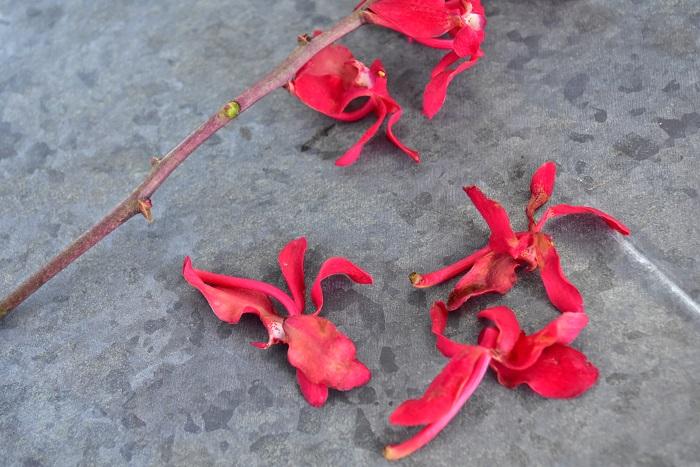 ランの花はいっぺんにすべての花が開花するのではなく下から咲いていくため、最初に咲いた下にある部分の花は次第に枯れていきます。枯れてくると、しんなりとしたり茶色の見た目になります。終わった花は、こまめに取り去ると全体として美しい形状を保ちます。