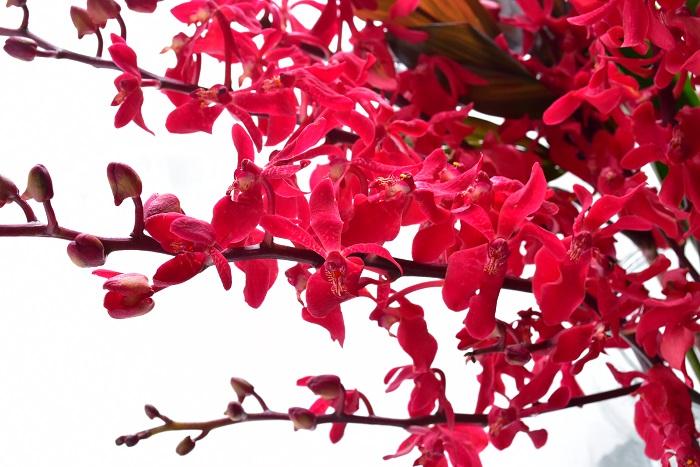 もともとランは高温多湿の熱帯雨林に自生し、耐寒性のある植物ではありません。  切り花は、気温の低い部屋に飾ったほうが長持ちするのが一般的ですが、ランを初めとした南国が自生地である花は、冬の外と同じような低い気温の場所に飾ると、元気がなくなってしまいます。(寒い玄関など)  冬場のランは適度に暖房のきいた暖かい部屋、ただし暖房の風が花に当たらない場所に飾るのが最適です。もともとは南国の花なので、寒いのは苦手なのですね。また、一年を通して直射日光の当たる場所に花瓶を飾るのは避けましょう。  冬場にランの花が新鮮なのに、元気がなくなってしまった・・・というときは、エアコンの風に当たってしまったか、寒すぎる場所に置いてしまったのが原因であることが多いです。  花が新鮮なのに、茶色くなる、しおれる、茎からバラバラ落ちてしまう・・・このような状況になったら、ランが寒さにやられてしまったのかもしれません。