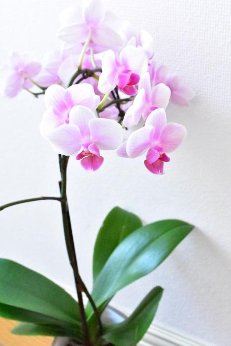 胡蝶蘭(コチョウラン)  例外はありますが、鉢もののランと切り花のランの大きな違いは、切り花のランには葉っぱがない茎だけの状態で出荷されることです。