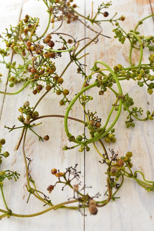 ヘクソカズラの実は、最初は緑、次第に茶色へと変化します。緑の状態で収穫しても、3~4日くらいで自然に茶系の実へと変化していきます。