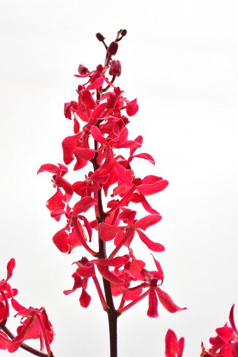 アランダ・バンコクビューティー  ランの花は一本の茎にたくさんの花がつき、花は下から開きます。適切な扱い方をしていれば、一番下から上のつぼみまできれいに開きます。冬場だと1ヶ月以上も花持ちすることもあります。