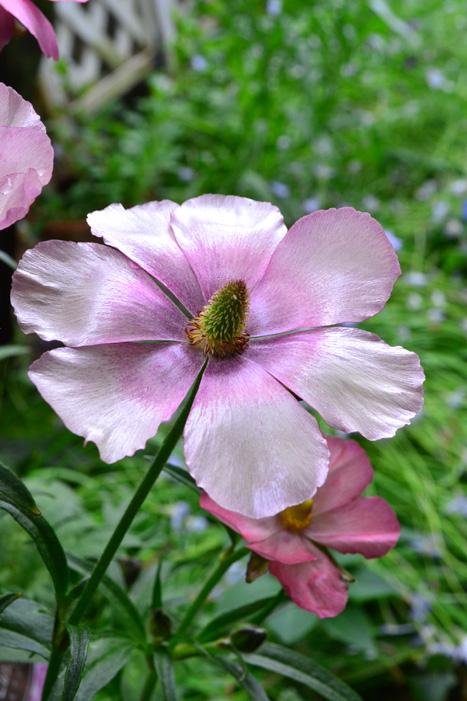 ラナンキュラス・ラックスシリーズ  ラックスシリーズのラナンキュラスは、花びらがキラキラと光沢があるのが特徴です。