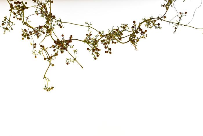 ツルの流れが素敵なヘクソカズラ。リースにしなくても、ツルを生かしてそのまま飾っても素敵です。