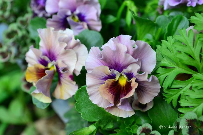パンジーは秋から春まで非常に長い期間、開花します。パンジーの花を長くたくさん咲かせるために大切なことは、花がら摘みをまめにすることです。