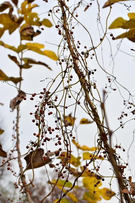 ヘクソという名前は、生の実がなんとも言えない臭いがあることから。臭いはあまりよくないのですが、とても小さくてかわいらしい実が、最近ではリースの花材として花屋さんでも流通しています。ヘクソカズラの臭いは、摘んで間もない生の時期で、乾燥すると消えます。