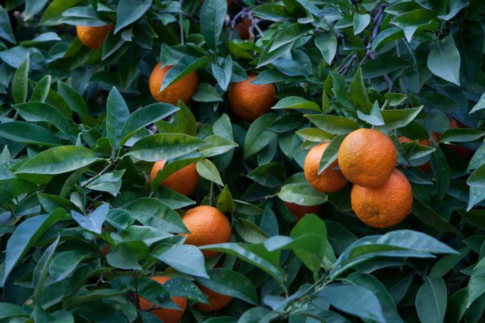 ダイダイ(橙)はミカン科の常緑小高木です。冬に完熟してからも枝から落ちにくく、何年にも渡り枝に実り新しく実った果実も一緒に同じ木に実り続けます。この様子に見立てて長生きの家族として家族が健康に繁栄していく様に代々続いて行きます様にと縁起物としてお正月に飾られます。