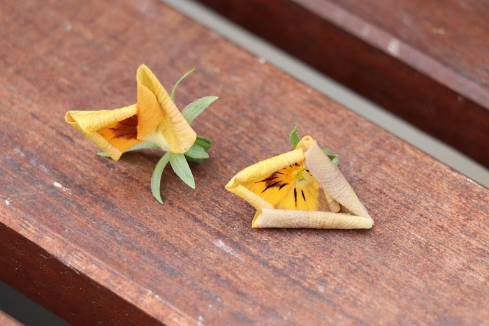 ビオラの花びらがくるんと丸まってきたら花がら取りのサインです。こまめに花がらを取って、次の花をどんどん咲かせましょう。