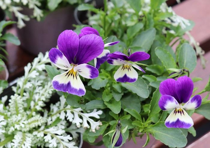 ビオラはスミレ科の耐寒性一年草。寒さに強く、10月~5月頃までの長期間を楽しめる育てやすい花です。  今回はビオラの中でも、まるで「うさぎの耳」のように咲くビオラを選びました。  細長い花弁がうさぎの耳のように見えることから、うさぎ型のビオラとして人気があります。小さなうさぎが太陽に向かって咲きそろう姿は、とってもキュートです。  日なたと水はけのよい用土を好みます。花がらを摘み、次の花をどんどん咲かせましょう。定期的に追肥します。