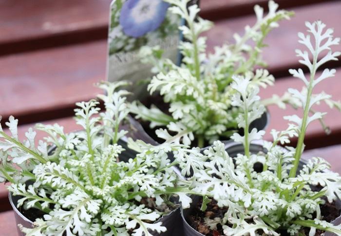 今回はネモフィラの中でも、シルバーリーフが美しいネモフィラを選びました。春になるとブルーの花が咲きます。この葉色なら、まだ花が咲かない冬の間はシルバーリーフとして存分に楽しめますね。  日なたと水はけのよい用土を好みます。高温多湿に弱いので、水やりは土が乾いたらたっぷりあげると良いです。定期的に追肥しましょう。