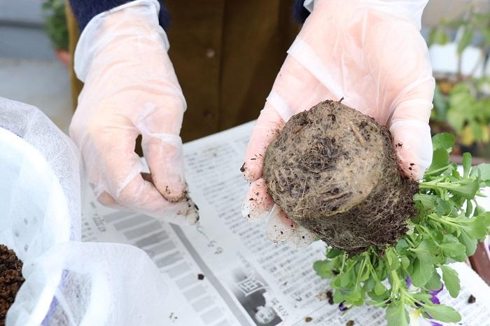 苗の底に根がまわって白くなっている時は、白い部分を少し取り除き、苗の底の部分をほぐしましょう。