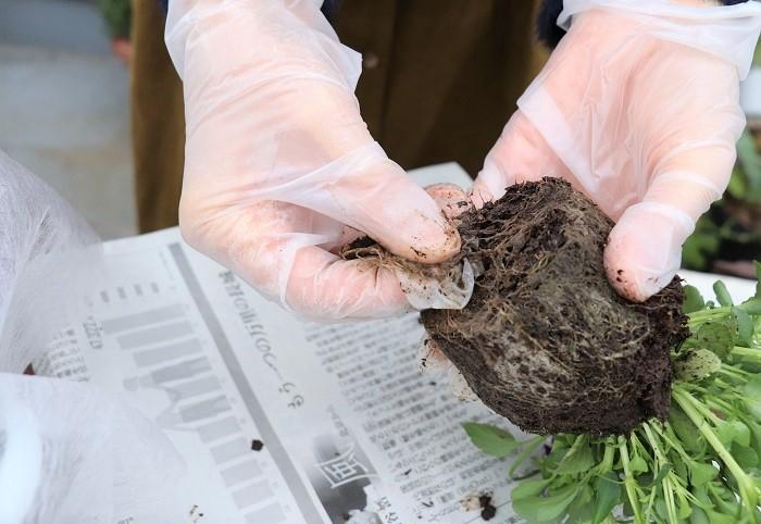 根をほぐすことで根が活性化され、植え付けた後の根の張りが良くなります。