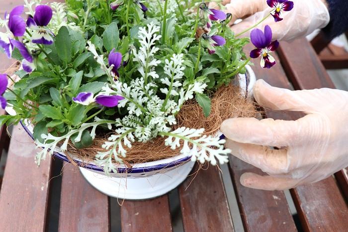 ココヤシファイバーをまわりにふんわり敷いて土を隠していきます。ココヤシファイバーを敷くと、水やりをした時に土がこぼれ出にくくなります。