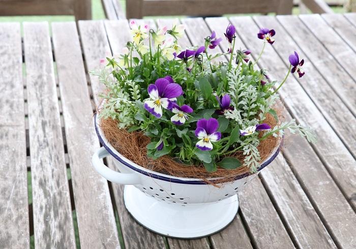 寒い冬も屋外で元気に咲く花を見ると元気をもらえますよね。  今回の寄せ植えは、見元園芸さんのネモフィラ「プラチナスカイ」、ビオラ「ラビットランド」を使わせていただきました。冬の間はかわいいビオラとシルバーリーフ姿のネモフィラが美しく、春にはネモフィラのブルーの花がいっせいに咲いて、さらに爽やかに華やぐ寄せ植えです。春が来るのがとっても楽しみですね。