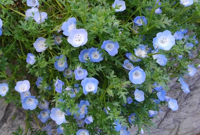 ネモフィラはムラサキ科の耐寒性一年草。寒さに強く、花は暖かくなる3月~5月頃にいっせいに咲きます。花色は、ブルー、白や紫の複色、黒などがあります。