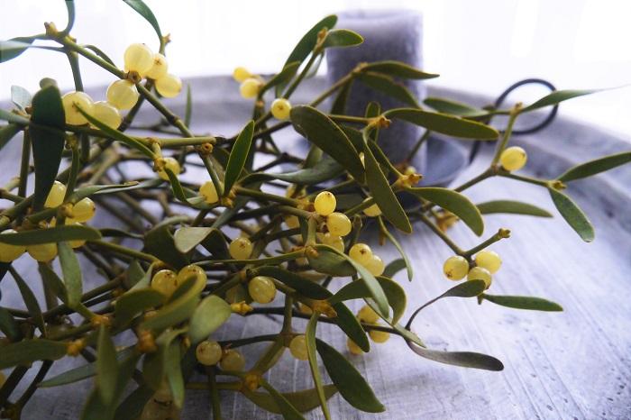 科名:ビャクダン科(※ヤドリギ科とされることもある)ヤドリギ属  分類:半寄生灌木  学名:Viscum aibum  英名:Mistletoe  ヤドリギは常緑の寄生植物です。冬に樹木が葉を落とした後の枝に、グリーンの鳥の巣のような姿で茂っています。常緑であることと、その不思議な形状や生態から、古くから海外では神聖な樹とされてきました。  ヤドリギの枝をクリスマスツリーに飾って、その下にたっている女性にはキスしてもいいと言うヨーロッパの言い伝えも、とってもロマンティック。  日本でも冬になると、お花屋さんの店頭に並ぶようになりました。