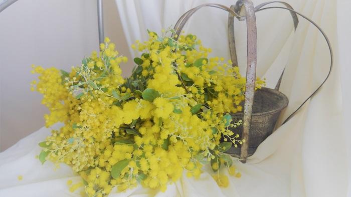 科名:マメ科  分類:常緑高木  花期:3~4月  原産地:地中海沿岸  「ミモザ Mimosa」とは、本来は「オジギソウ」を指す学名ですが、現状は黄金色の房状の花をつけるアカシアの俗称とされています。切り花で流通しているものでは、「銀葉アカシア」「三角葉アカシア」「真珠葉アカシア」などがあります。