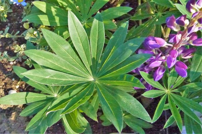 ルピナスは葉の形が印象的で、地植えにするとそれだけでオーナメントプランツとして存在感を発揮します。