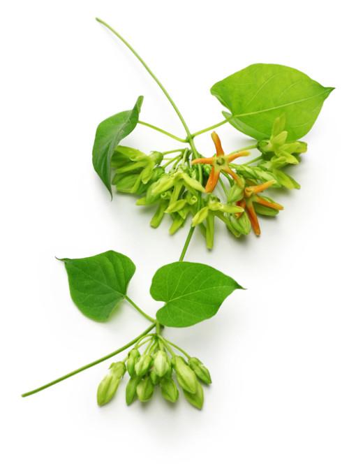 イエライシャンはテロスマ属で、 原産地は中国南部からインドシナ半島、インドにかけて生えています。常緑蔓性低木です。「夜来香」は中国語で「イエライシャン」と読みます。また、別名で「東京葛(トンキンカズラ)」とも呼ばれますが、 「トンキン」は日本の地名ではなく、ベトナムの北部の地名です。