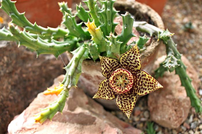 ガガイモ科は、双子葉植物のなかでも、精工で複雑な花を咲かせます。一見するとびっくりするほど変わった花も多いのですが、いくら見ても見飽きない珍しい形や色がガガイモ科の花の魅力ともなっています。