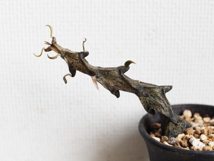 マダガスカル原産。まるで鉄骨のような多肉質の茎が特徴です。