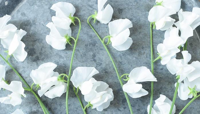 スイートピー・パールホワイト  お城で見た白いスイートピーが、伸び伸びして自由で気ままにツルを伸ばして咲いていて魅力的だったのが記憶に残っていて、今回はパールホワイトのスイートピーを1種で生けてみました。