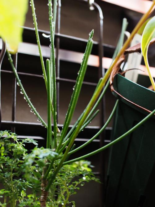 ボルネオ島原産。葉が退化した特徴的なホヤで、葉の代わりに棒状の花柄(かへい)を次々とつけ、その先から花を咲かせます。
