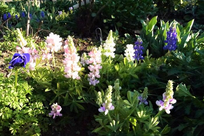 カサバルピナス 葉の先が下向きに広がり、傘を広げたような形状をしていることから、この名前が付きました。すーっと上に伸びた華奢な茎に、深い藍色の花穂をつけます。原産地では、野原に群生して咲いている姿も見かけられます。  キバナルピナス 明るい黄色の花を咲かせます。ただ塗りつぶしたような黄色ではなく、花芯に近づくにつれて白っぽくなるグラデーションがついています。  ラッセルルピナス アメリカ合衆国原産の宿根の品種。日本の高温多湿な夏を越せないので、通常一、二年草扱いとされます。草丈が100㎝を超す大きな種類です。  ルピナス・ピクシーデライト 切り花でも良く出回る小型種。花色も淡いピンクからブルーがかった薄紫、少しくすんだ藍色まで豊富。華奢な作りからも、可憐な印象を受ける草花です。庭植えにもしても花付きが良く、次々と花芽を上げてくれます。  ルピナス・テキセンシス ピクシーデライトと同じく草丈20~30cm程度の小型種です。