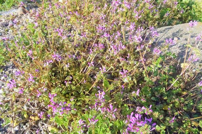 ホトケノザの花は、よく見るととても変わった形をしています。花びらが分かれておらず、鳥のくちばしのような形をしています。これは「唇状花冠」といい、シソ科の植物によく見られる形です。上の唇と下の唇で雄しべ雌しべを隠すように保護しています。花粉の媒介者(つまり蝶や蜂たち)が蜜を吸おうと下唇に乗ると、重みで花が開く仕組みになっています。ホトケノザの花は、無駄に花粉をまき散らさないように出来ているのです。ホトケノザに限らず、自然界の仕組みには本当に感心させられます。