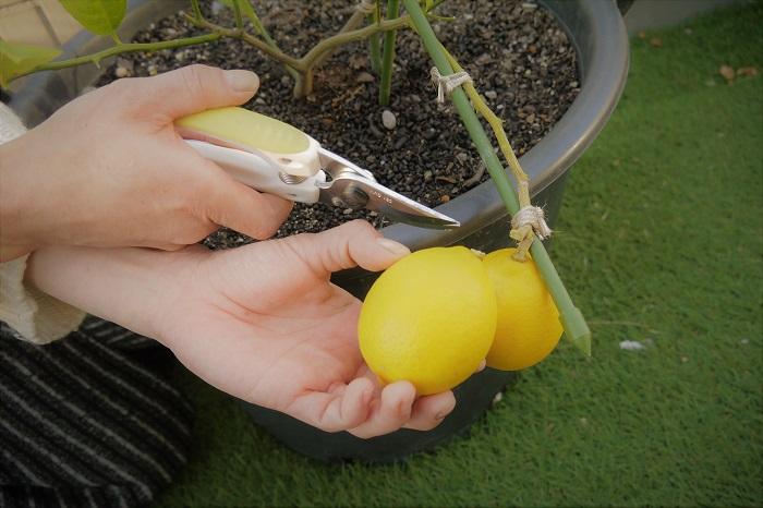 ラブグリーン編集部オフィスのテラスで育てたレモンがきれいな黄色に熟しました。この収穫したレモンを、黒オリーブと一緒にマリネにしました。  自宅で収穫したレモンなら、安心して皮ごと丸っと食べられます。しかもレモンの皮の苦味が、アクセントになる味付け。是非トライしてみてください!