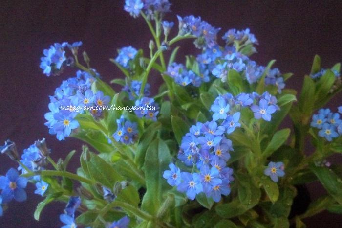 愛らしい花姿に「私を忘れないで」と言う儚げな花言葉を持つワスレナグサ。漢字では「勿忘草」とも書きます。花言葉の方が有名で、一人歩きしていることも間々あります。  うっすらと産毛の生えた葉や茎の先に、淡い水色の花を咲かせる非常に可愛らしい花です。ワスレナグサが入ると、全体の印象が砂糖菓子のような優しい印象になります。