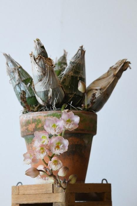 クロウェシア レベッカ・ノーザン'ミッカビ'  「タケノコ系でもっともポピュラーなランといえばこれ。ピンクの花がたくさん咲き、比較的育てやすい品種です。」 同じ親から生まれた品種で、やや花色が濃い'ピンクグレープフルーツ'もあります。