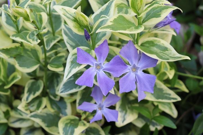 春に咲くツルニチニチソウの青紫色の花も美しいです。とても爽やかなイメージです。
